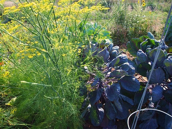 My fennel is enormous! I have never grown it before and it's really pretty in my garden! Will for sure grow it again.