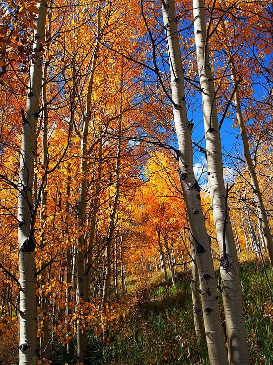 I took a hike with my dogs. Walking through an Aspen forest in the fall is really spectacular!