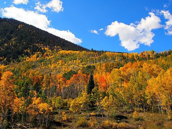 Beautiful bank of Aspen trees outside of Frisco, Colorado