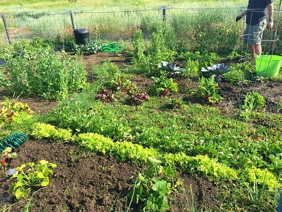 """The vege's are coming up nicely. So are the weeds! I love it when friends say, """"I'll help you weed your garden""""!"""