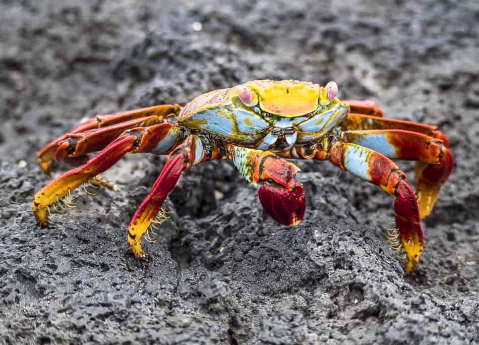 Sally Lightfooted Crab