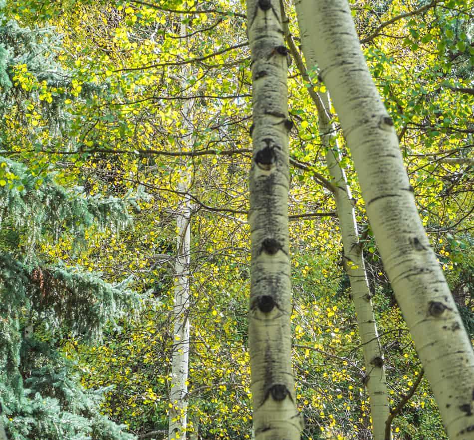 Evergreen Aspens