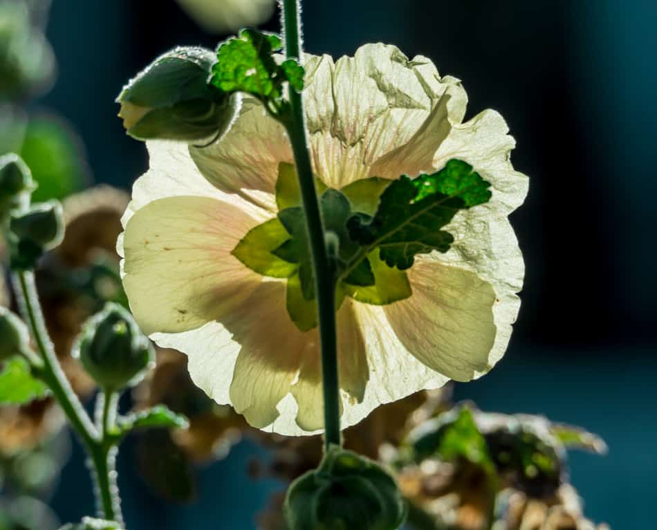 Glowing Hollyhock Flower