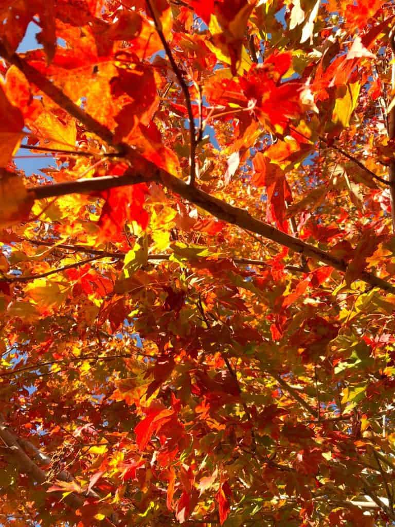 Maple tree, littleton colorado, fall day