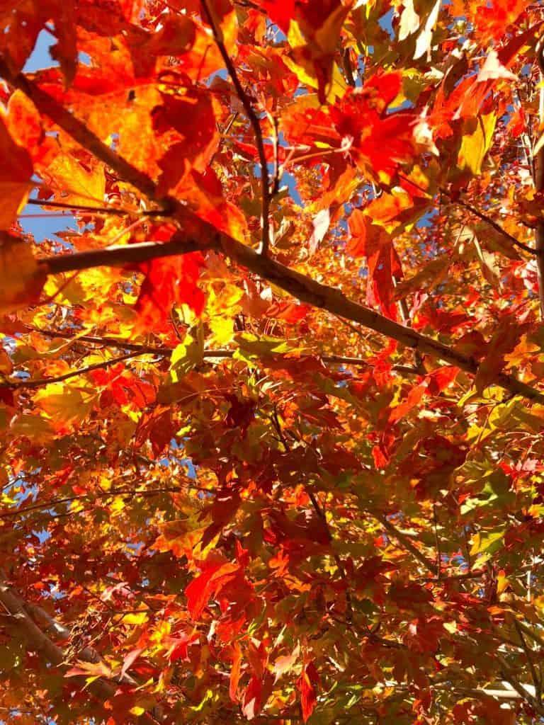 Maple tree, littleton colorado, fall day