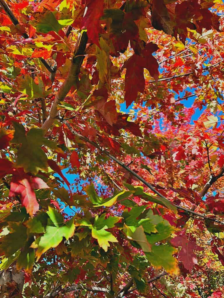 Maple tree, colorado, littleton, perfect fall colors