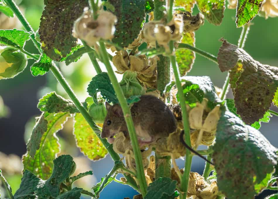 Mouse in Hollyhock