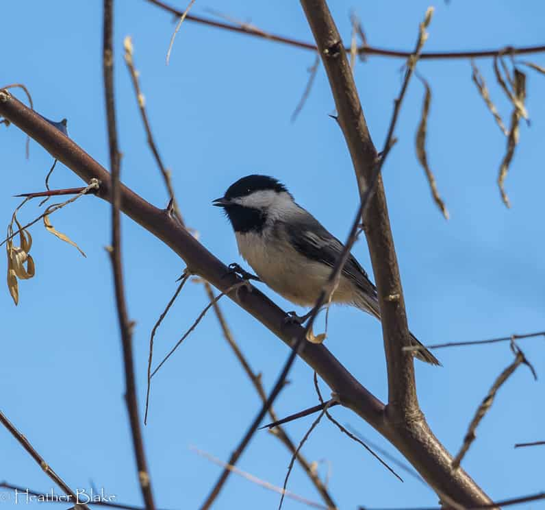 Mountain Chicadee