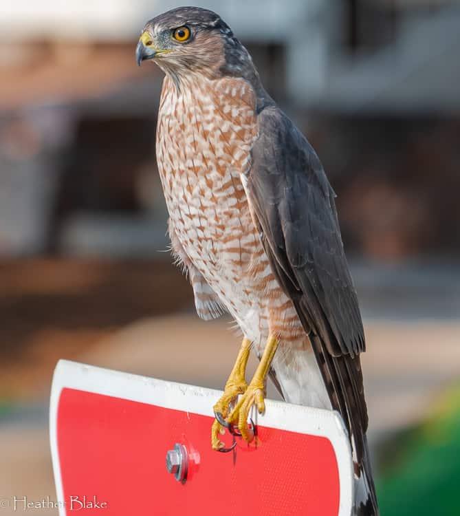 Kestrel Hawk