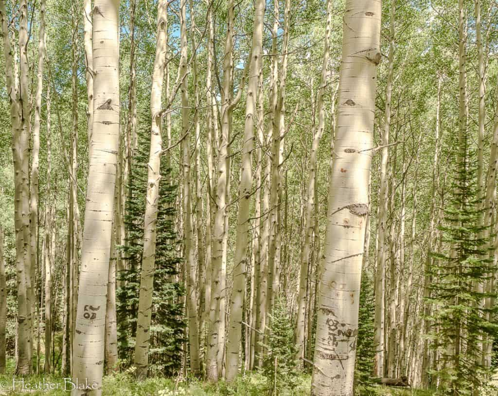 A picture of aspen trees on Kebler Pass, Colorado