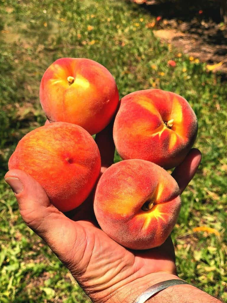 A picture of some freshly picked peaches from Black Bridge Farm