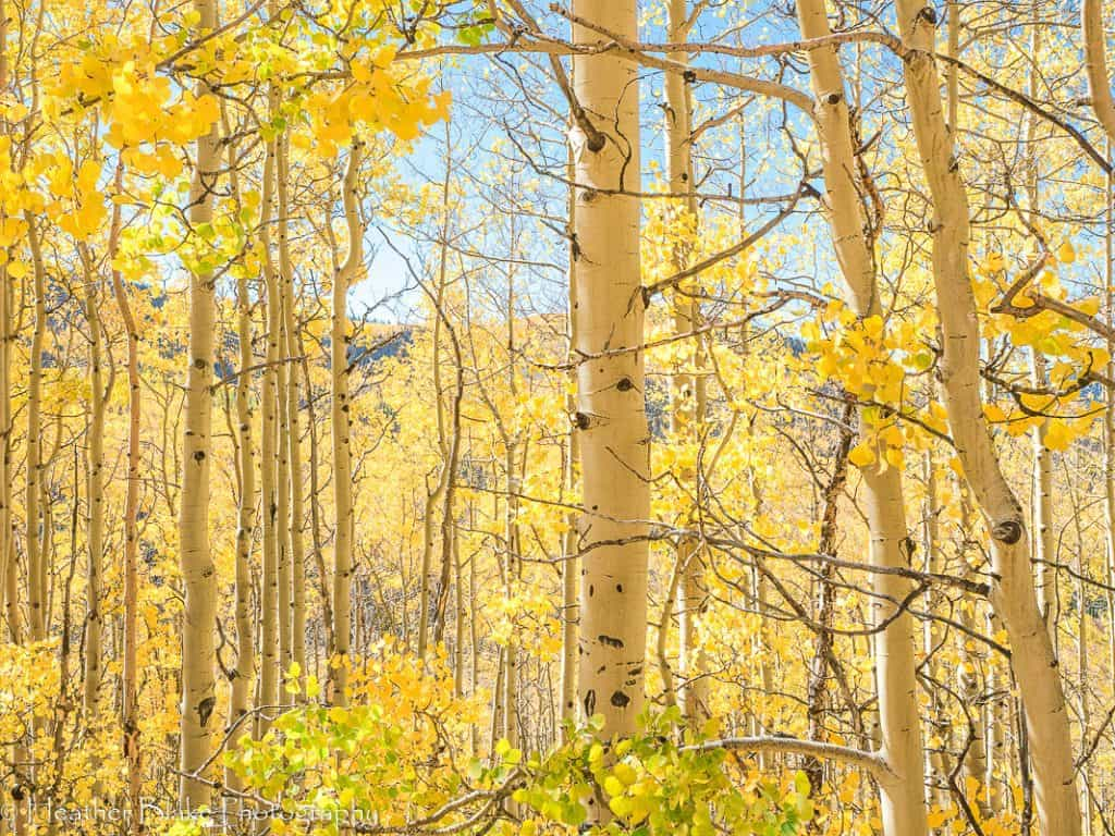 A picture of an Aspen Forest with yellow leaves in the fall