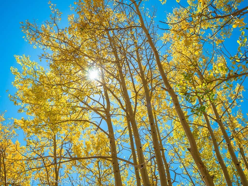 A picture of aspen trees with an incredible blue sky above them!