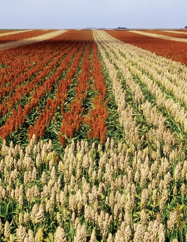 A picture of a sorghum field.